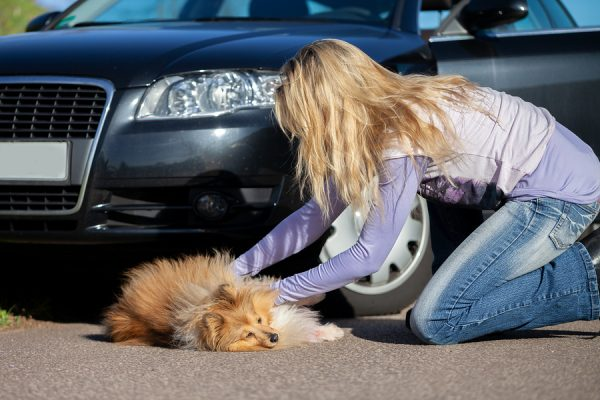 injured pet: A Woman Helps An Injured Dog In Front Of A Car