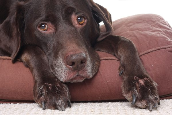 new vaccines can help old dogs