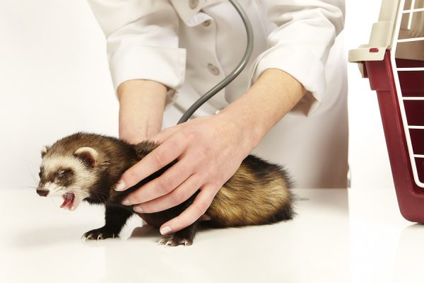 Veterinarian With Ferret who ate something bad