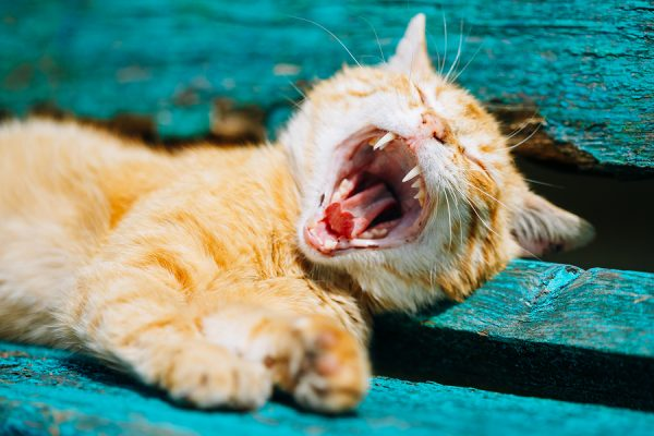 Red Kitten yawns; kitten teeth