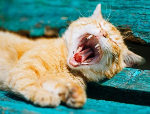 Six Things You Need to Know About Your New Kitten's Teeth