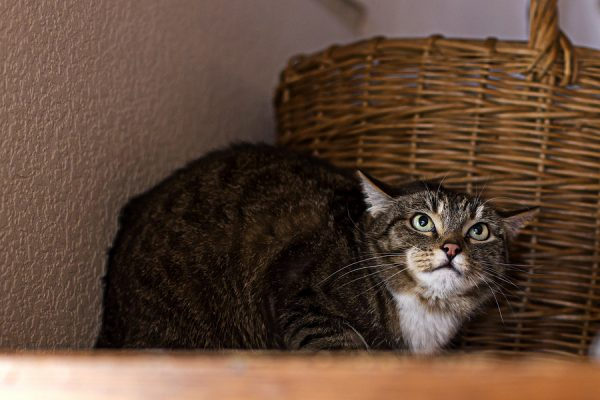 Pets' stress: Angry And Scared Cat Sitting On The Shelf