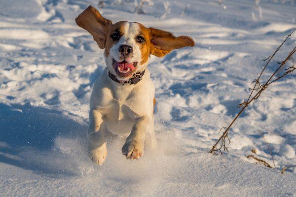 Beagle Runs In The Snow; cold weather dog fun
