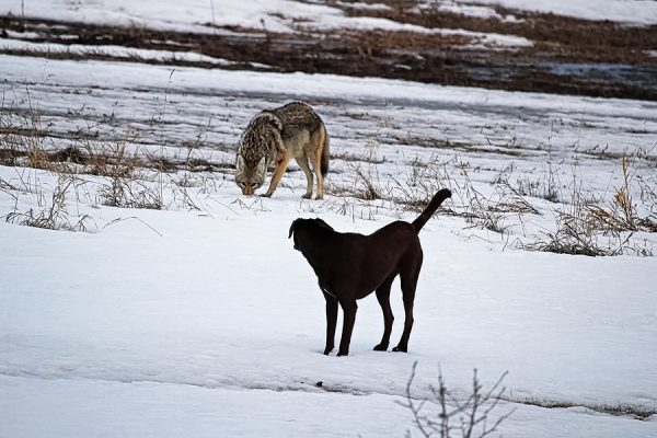 A Domestic Dog Has It's First Run In With A Wild Coyote; wildlife and pets dont mix!