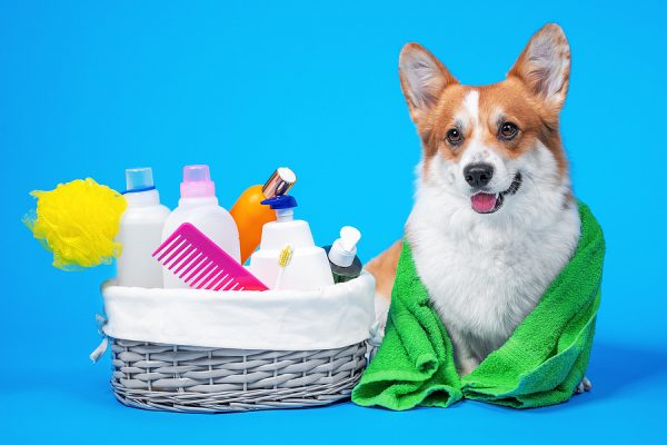 Portrait Welsh Corgi Pembroke Dog With A Box Of Accessories For grooming at home
