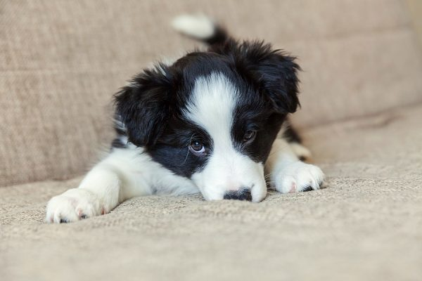 Cute New Puppy Dog Border Collie On Couch