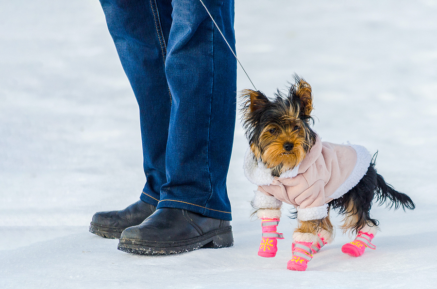 little Yorkshire Terrier dog and its owner, snow winter background. Small, cute doggy in winter gear with coat and pink boots.