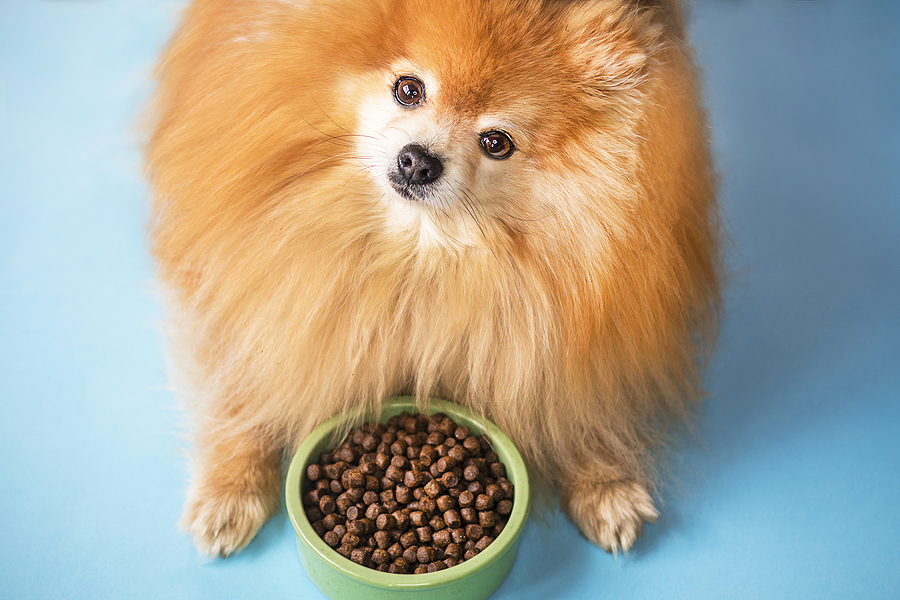 Pomeranian Spitz is eating dry food in a ceramic green bowl on pastel light blue background. Dog looks at camera as if to say WHAT IS THIS NONSENSE