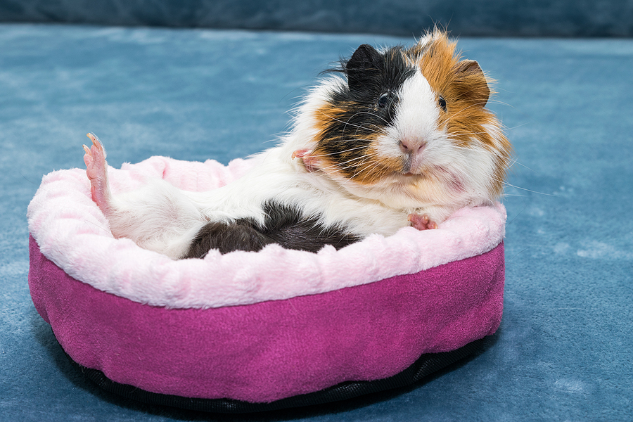 Guinea pig. A young funny guinea pig lies in a pink bed. Low maintenance pets